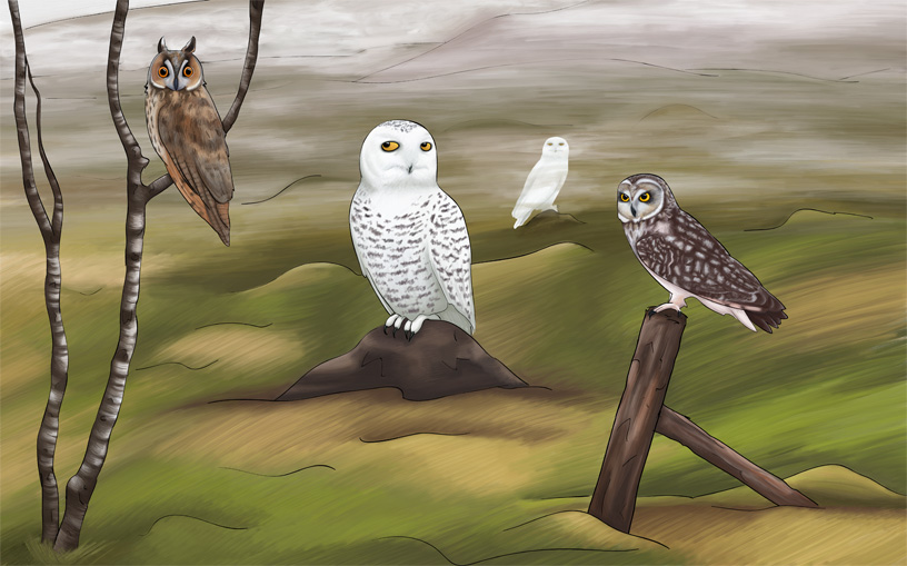 Owls of Iceland